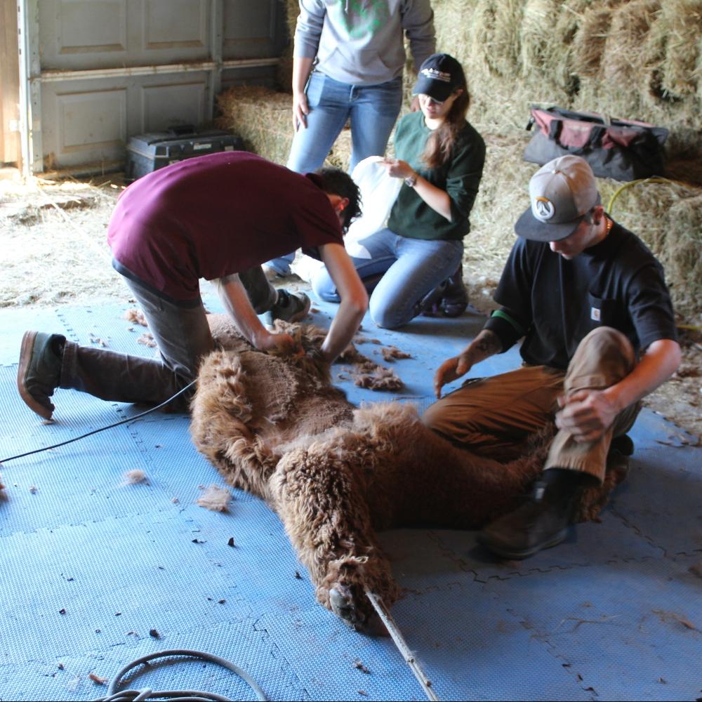 Reba blanket sheared