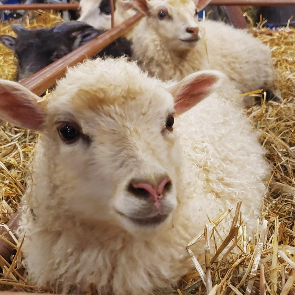 estes park wool market lamb