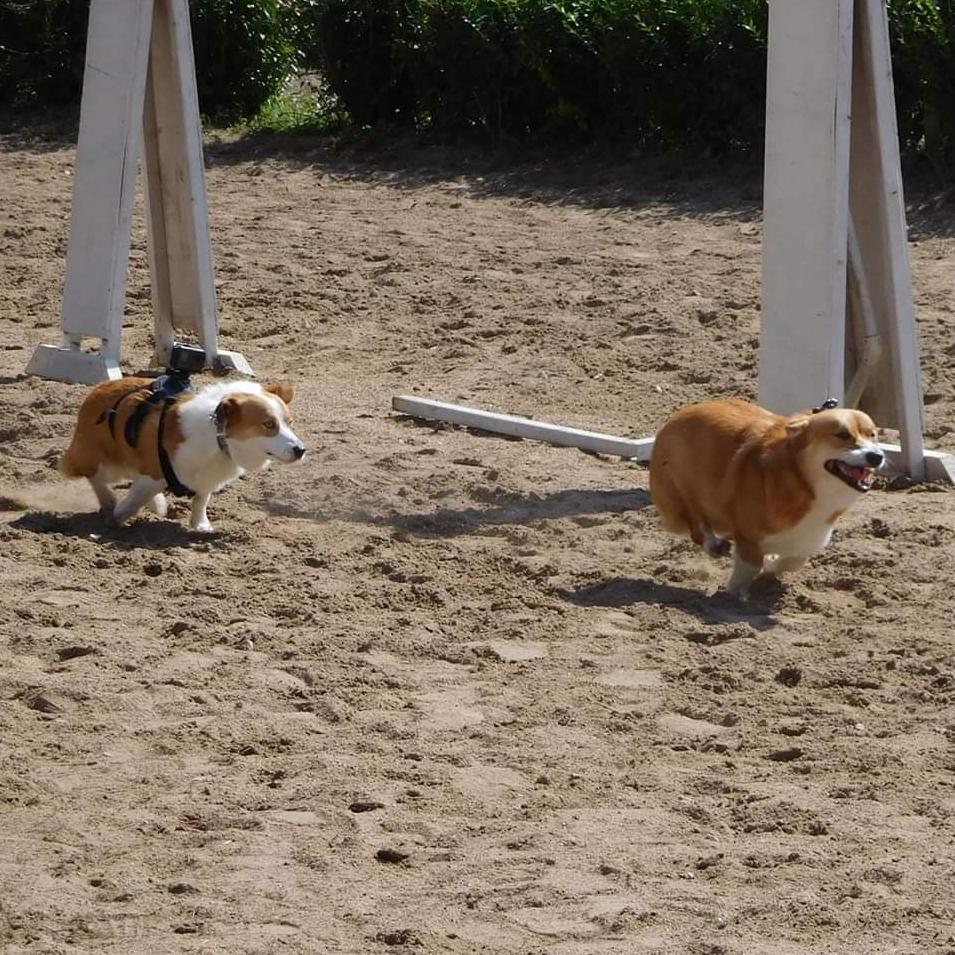 running corgis